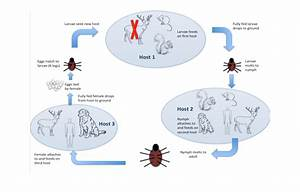 Lyme Disease Transmission Cycle  Eggs Laid By An Adult Female Deer Tick
