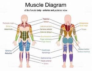 Female Muscle Chart Diagram