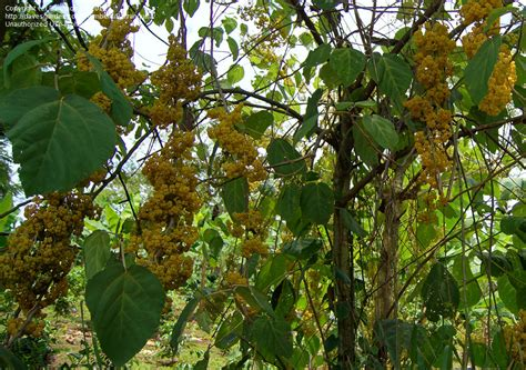 small tropical trees plant identification small tropical tree with hanging fruit maybe 1 by barranquilla
