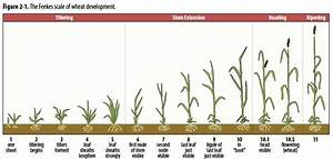Stages Of Wheat Growth