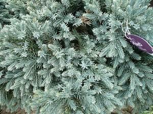 Juniperus squamata 'Blue Star' | Container Crazy Cathy T