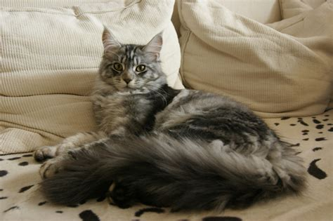 do maine coons shed in the summer maine coon grooming tips mainecoon org