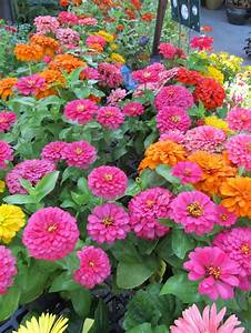 9 best images about zinnias on pinterest gardens zinnia for Zinnias flower garden