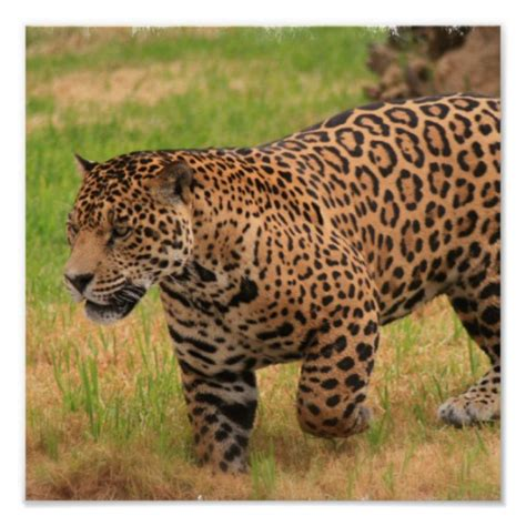 Jaguar Print by Jaguar Poster Print Zazzle