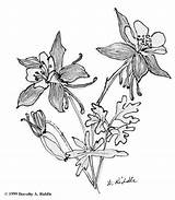 Columbine Flower Colorado Coloring Sketch Tattoo Drawing Flowers Sketches Drawings Google Botanical Pages Illustration Permanent 65kb 667px Save sketch template
