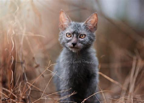 Home  Lykoi Cats  The Original Lykoi Breeder