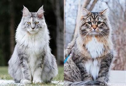 Coon Maine Siberian Cat Vs Comparison Face
