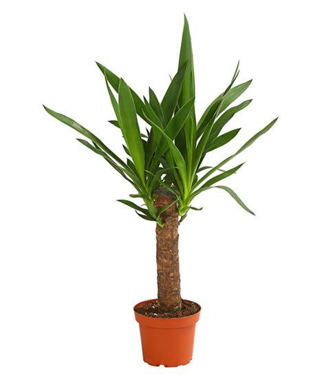 yucca palme düngen yucca palme dehner