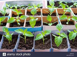 Bell Pepper Seedling | www.pixshark.com - Images Galleries ...