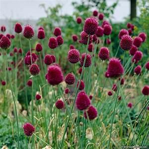 Amazing Alliums The Garden Glove