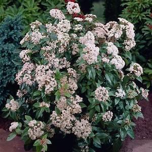 Plantes à Feuillage Persistant : viburnum tinus eve price laurier tin est un arbuste ~ Premium-room.com Idées de Décoration