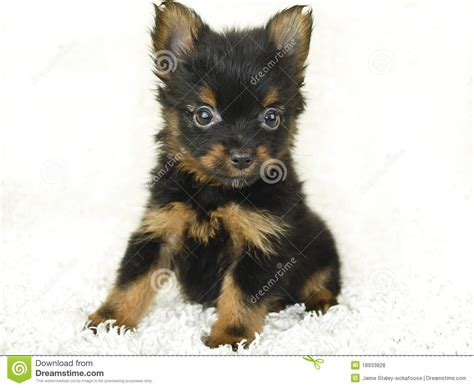yorkie pom puppy stock photo image  alertness young