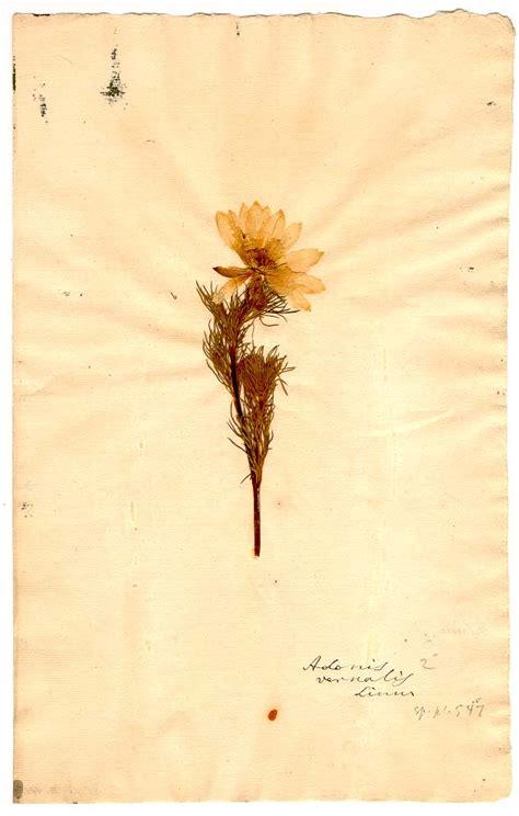 linnean herbarium  linn adonis vernalis