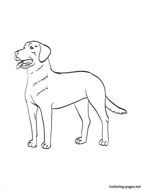 chesapeake bay retriever coloring page coloring pages