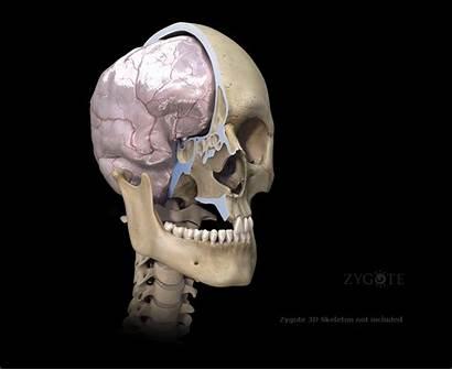 Nervous System Brain 3d Human Female Male