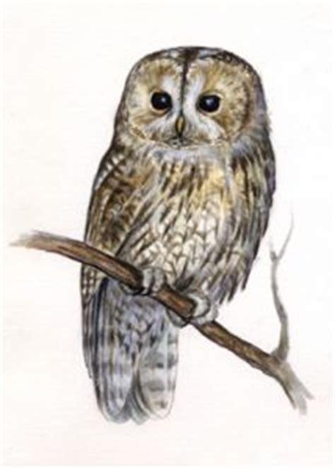 meža pūce - Strix aluco (L.) - Putni - Latvijas daba