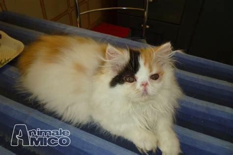 gatti persiani torino vendita cucciolo persiano da privato a torino gattini