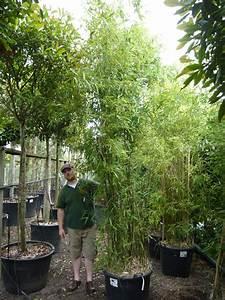Bambus Im Winter : bambus bissetii bambus phyllostachys bambus immergr ne heckenpflanzen heckenpflanzen ~ Frokenaadalensverden.com Haus und Dekorationen