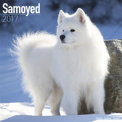 Samoyed Calendar 2017 10065 17 Samoyed Dog Breeds