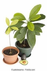 Avocado Baum Pflege : pflege der avocado garten garten avocado pflanze und avocado baum ~ Orissabook.com Haus und Dekorationen