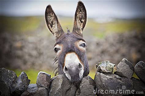 nice irish donkey   stone wall royalty  stock