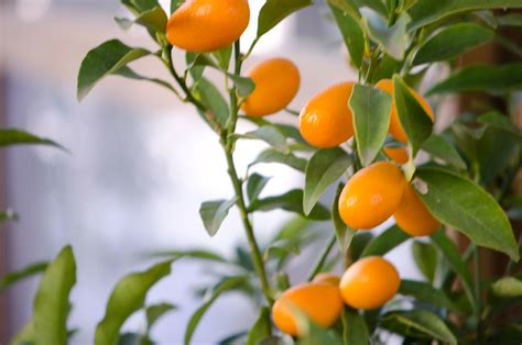 Small Orange Tree 2 Yannis Flickr