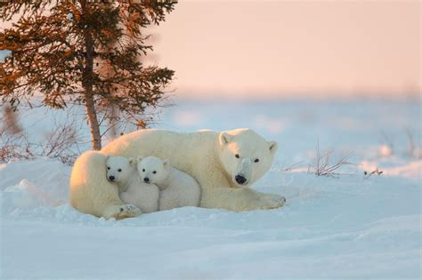 Baby Animals Wallpaper Hd - animals polar bears snow baby animals wallpapers hd