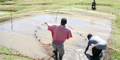 fish farmers urged   high quality feed  zambia
