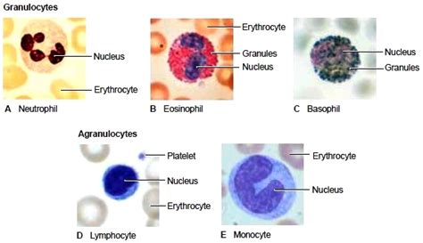 the formed elements all of the blood s formed elements are
