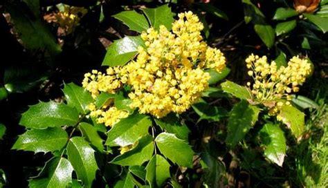 evergreen shrub  yellow flowers  spring garden