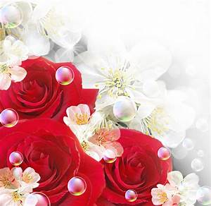 Red Roses With White Backgrounds - Wallpaper Cave
