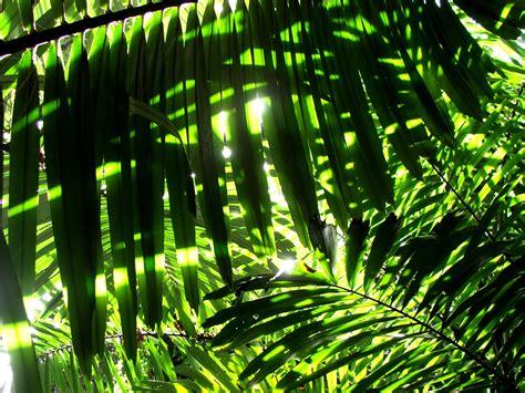 bureau virtuel mac fond d 39 ecran ombre par feuilles des arbres wallpaper