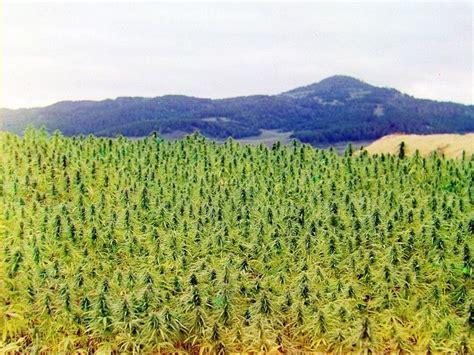 Cannabis in Kazakhstan - Sensi Seeds