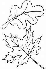 Leaves Coloring Pages Leaf Fall Autumn Oak Maple Thanksgiving Template Drawing Clip Falling Printable Draw Clipart Sheets Colorluna Sheet Getdrawings sketch template