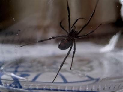 Widow Spider Western Trevor Nc Cc
