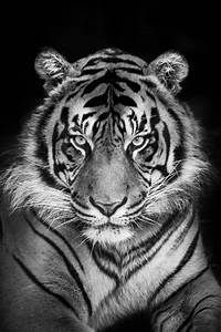 Tiger Schwarz Weiß : 32 best images about black and white tigers on pinterest black tigers black and white ~ Watch28wear.com Haus und Dekorationen