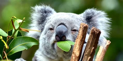 brisbane river cruises  lone pine koala sanctuary book