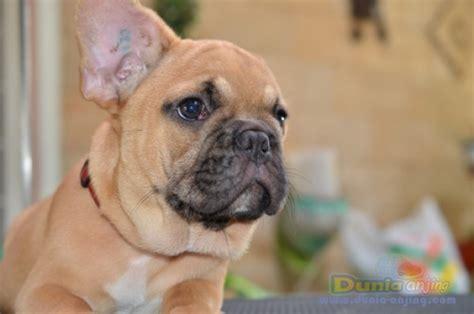 dunia anjing jual anjing french bulldog dijual anjing