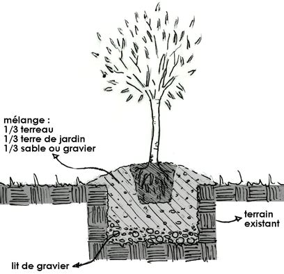 planter un olivier fiches conseils сади