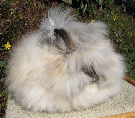 angora rabbit the angora rabbit fun animals wiki videos pictures stories