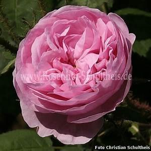 Rosen Düngen Im Frühjahr : rosa muscosa rosen online kaufen im rosenhof schultheis rosen online kaufen im rosenhof ~ Orissabook.com Haus und Dekorationen