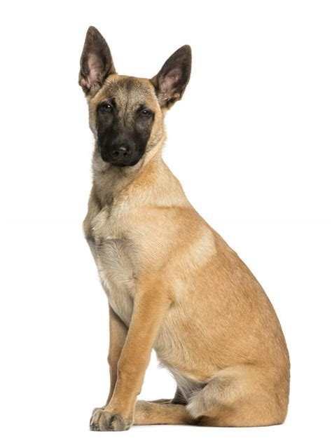 belgian shepherd dog malinois dogs breed information