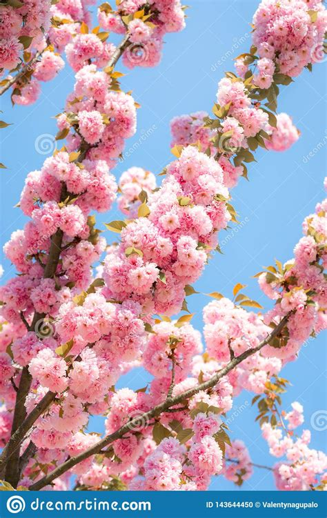 Blooming Cherry Tree With Delicate Terry Flowers Pink