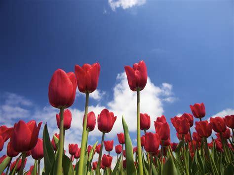 Garten Tulpen Pflanzen by Tulpen Pflanzen Was Es Zu Beachten Gilt Gartenpflanzen