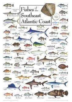 gulf  mexico fish chart gulf fish pinterest