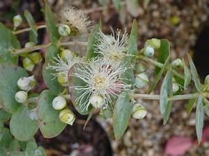 Eucalyptus Plante D Intérieur : eucalyptus baby blue gommier d 39 australie gommier cidre arbre au koala p pini re en ligne ~ Melissatoandfro.com Idées de Décoration