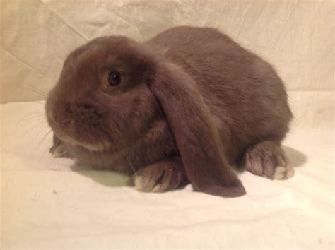 french lop rabbits  sale chimbunny stud peterborough
