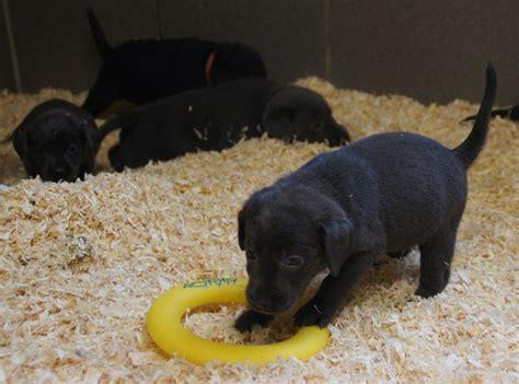 typvolle labrador welpen abzugeben tiermarktnet