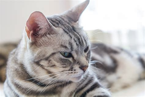 Shorthair Cat - what is the weight range for american shorthair cats