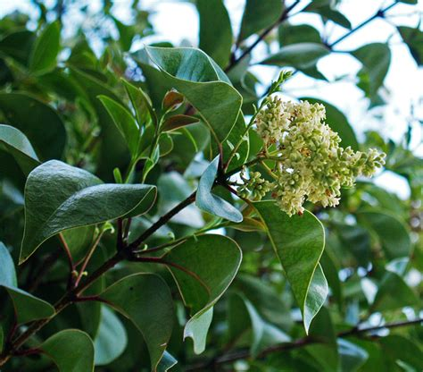 tree foliage glossy privet friends of the urban forest